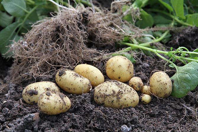 Nye lækre kartofler.