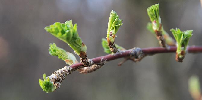 Stikkelsbærrene får blade i april