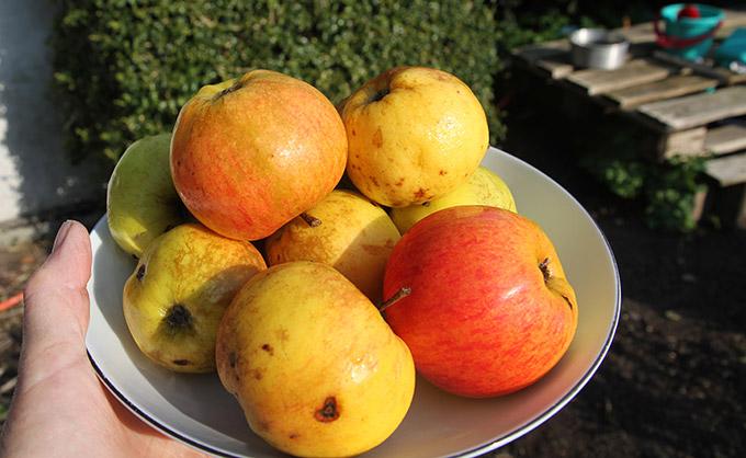 De sidste Jonagold æbler i år.