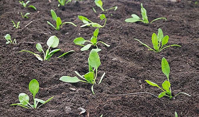 Spinat plantes ud på bed