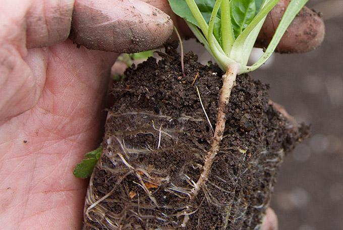 Spinatplante parat til at plante ud med rigtigt fint rodsystem i hjemmelavet såjord.