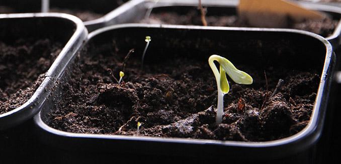 For få dage siden blev et lille agurkefrø lagt i min hjemmelavede såjord - nu er kimplanten på vej op.