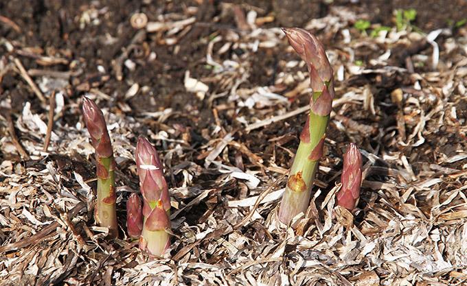 Trods kulden vokser aspargesskuddene.