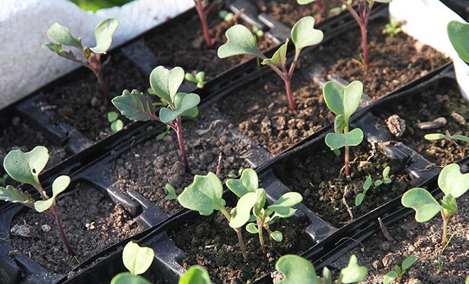 Nye kålplanter på vej.