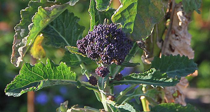 På den anden plante er hovederne mere spinkle og lyslilla.