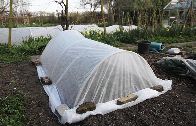 Tunnel med fiberdug sat op for at beskytte de små salatplanter.