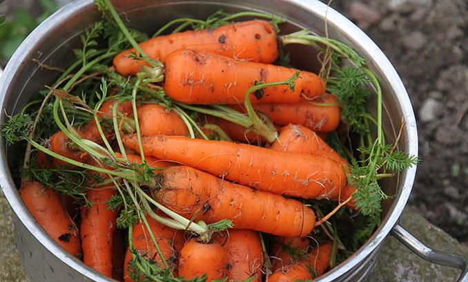 Nyhøstede gulerødder.
