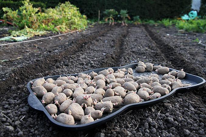 Bed og kartofler er klar. Jeg spirer kartoflerne i såkaldte skobakker.