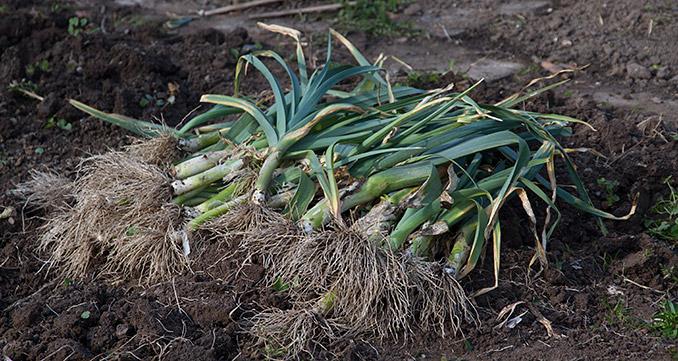 Dagens høst af porrer - bedet skulle ryddes.