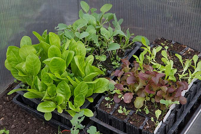 Salat i flere størrelser og kål er blevet flyttet ud i drivbænken