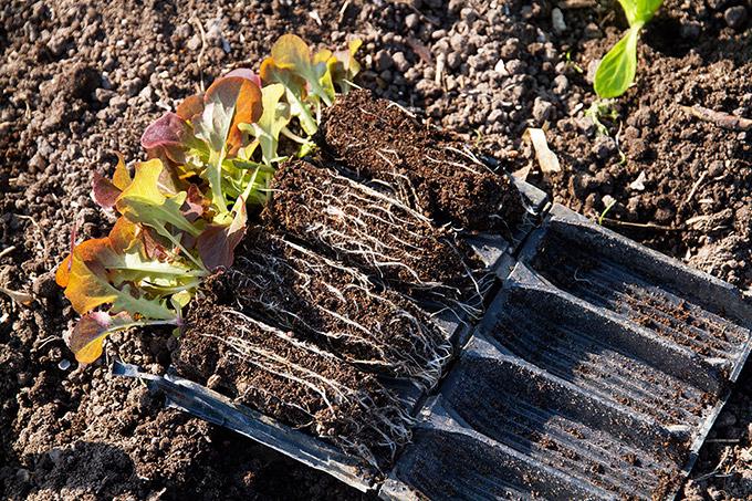 Salatplanter forkultiveret i hjemmelavet såjord.