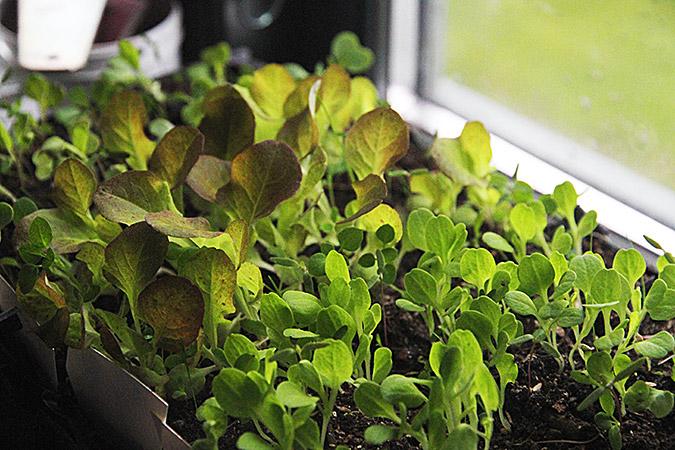 Salatplanter i trængsel