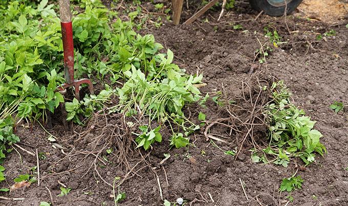 Opgravning af skvalderkål er let, når jorden er tilpas fugtig.