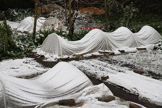 Men søndag morgen kom sneen og tyngede fiberdugen helt ned - lidt et problem med kartoffelplanter, men ingen skade.