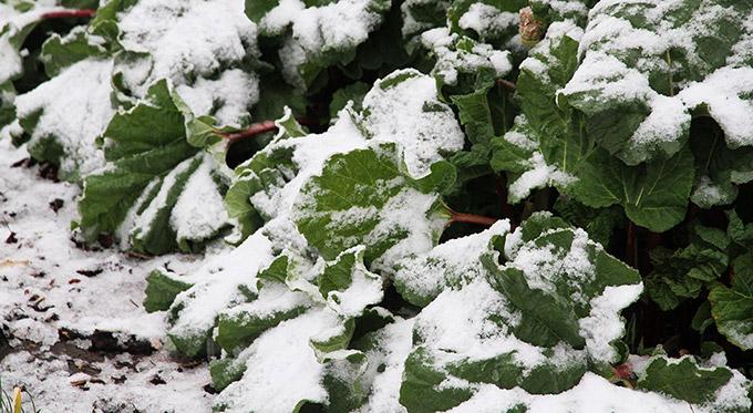 Store rabarberblade i snevejr.