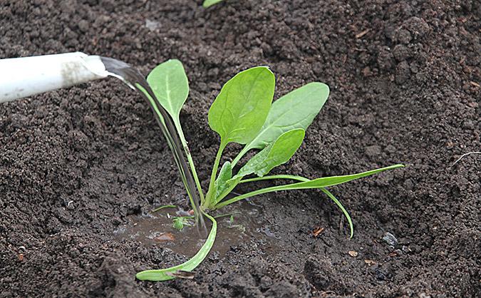 Jeg vander altid efter plantningen, så rødderne kan få god jordkontakt