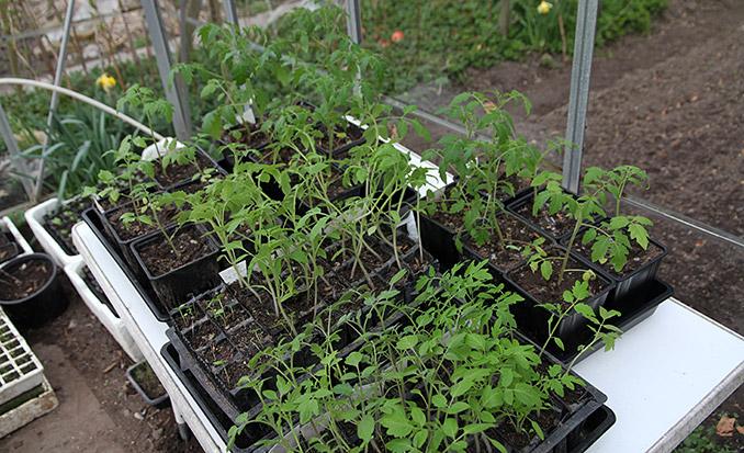 Tomatplanterne trænger virkelig til at få mere lys end i husets vinduer.