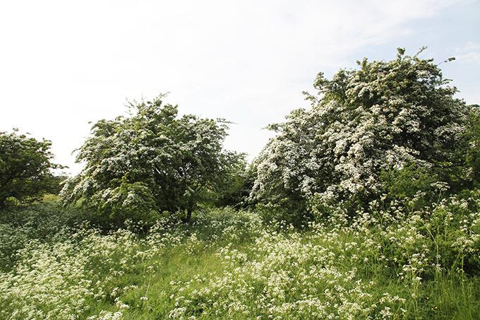 Hvide blomster.
