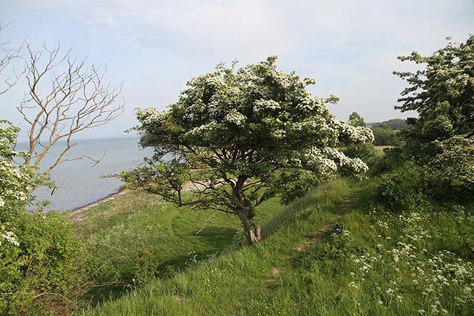 Hvidtjørn_blomst_Ravnsby_Bakke_Ravnsborg_2529