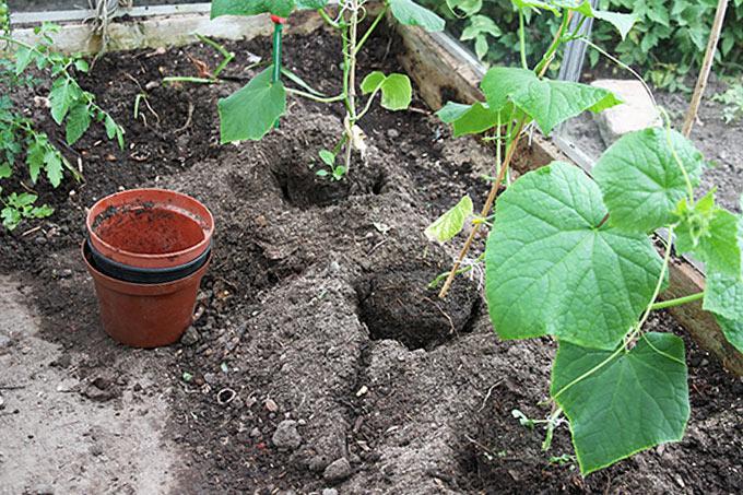 Planterne er forsigtigt sat ned i hullerne.