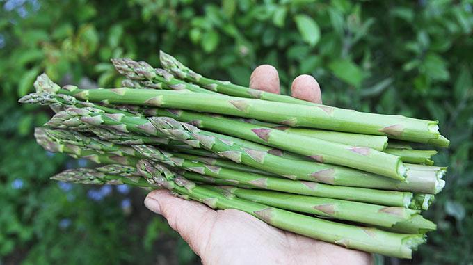 Dagens aspargeshøst.