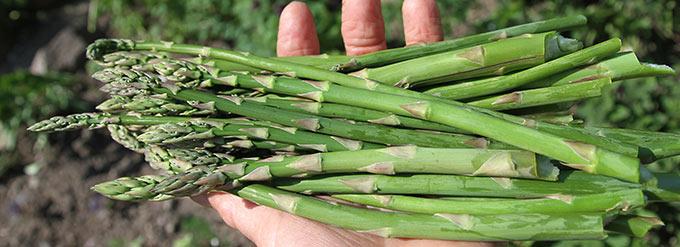 Nyhøstede grønne asparges.
