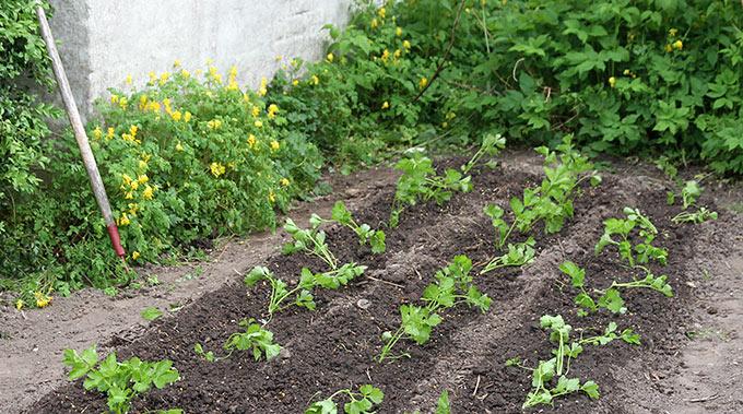 Bed med bladselleri, som også vælter lidt rundt lige efter, at de er plantet.