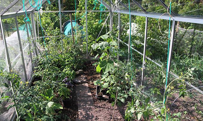 Nu er der kun tomater, agurk og nogle potter med basiilikum, peber og chili i drivhuset.