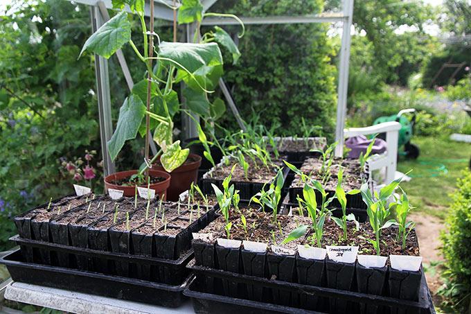Majs og agurker er tilbage i drivhuset.