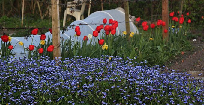 Blå forglemmigej og røde tullipaner.