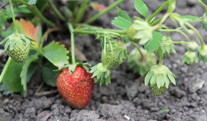 Få dage til vi kan høste de to første røde jordbær.