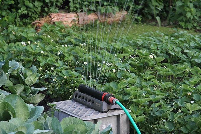 Vanding af jordbær og kartofler
