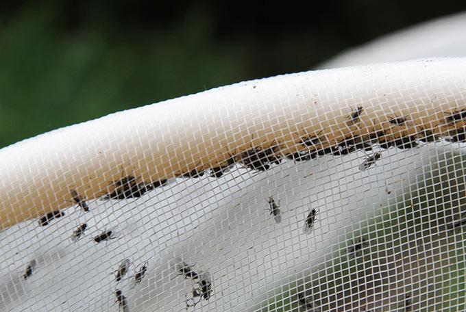Kålfluer af 2. generation fanget under bionet.