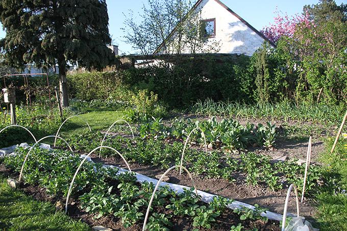Nordøst hjørnet af køkkenhaven med de tidlige kartofler, jordbær, overvintrende spidskål og hvidløg