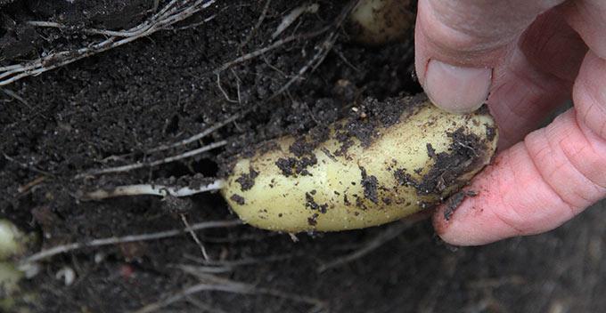 Det er let lige at pille kartoflen ud.