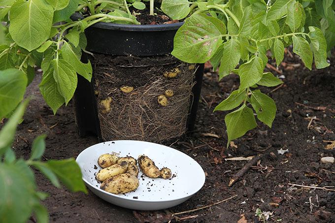 Kun de synlige kartofler blev høstet i potterne.