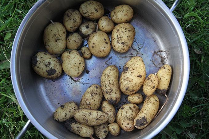 Hamlet og Anna Belle kartofler
