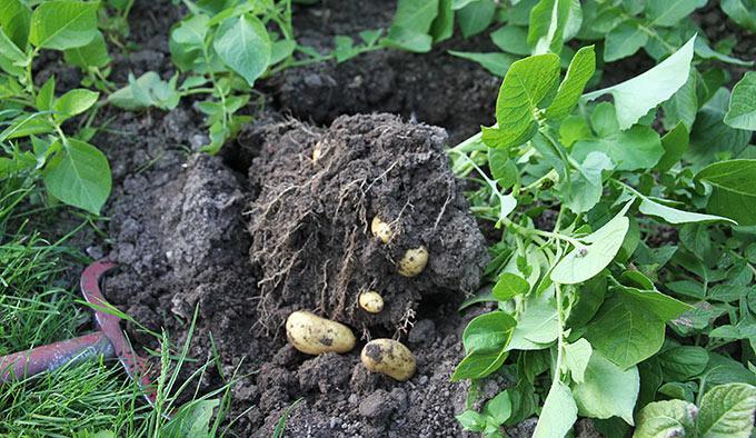De tidligste satte kartofler var Anna Belle.