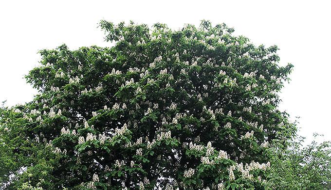 Kastanjetræ med blomster