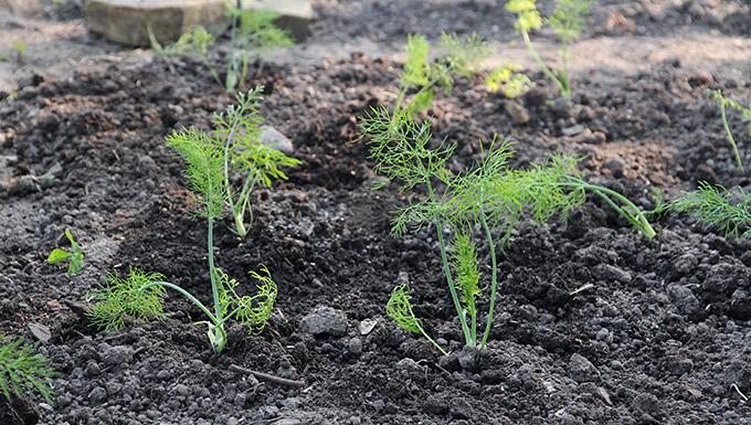 Knoldfennikelplanterne ser ikke ud af så meget udplantede.