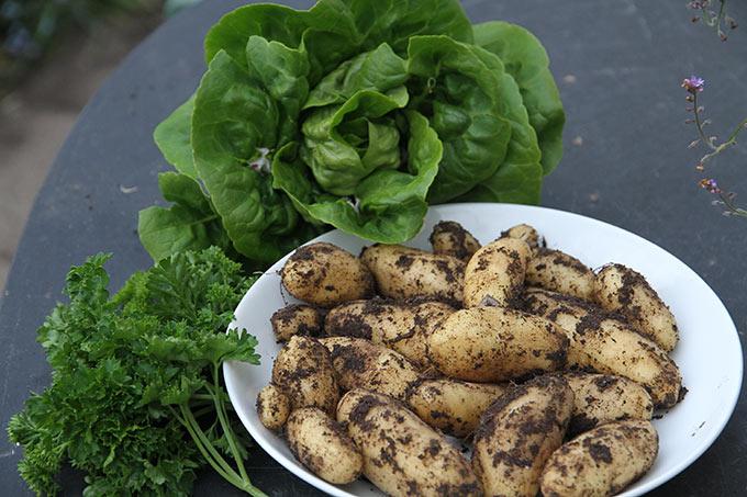 Nye kartofler, salathoved og ny »gammel« persille.