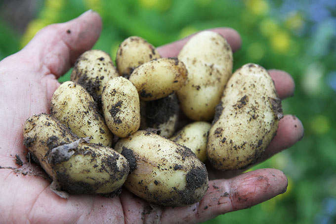 En håndfuld kartofler kunne jeg pille fra planten.