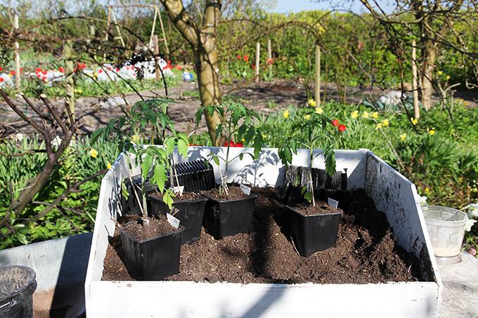 Omplantningen foregik ude i haven.