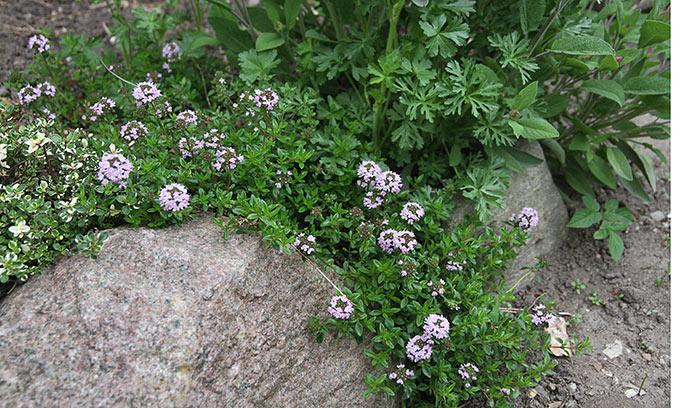 Oreganotimian i blomst - de dufter og smager virkelig af oregano.