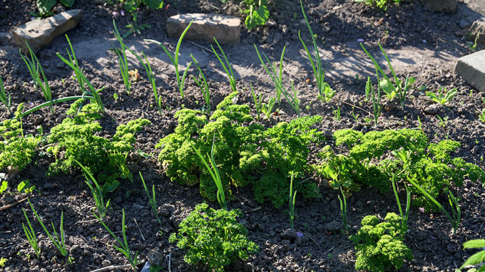 Nu er der masser af persille - og der er sat hvide salatløg i bedet.