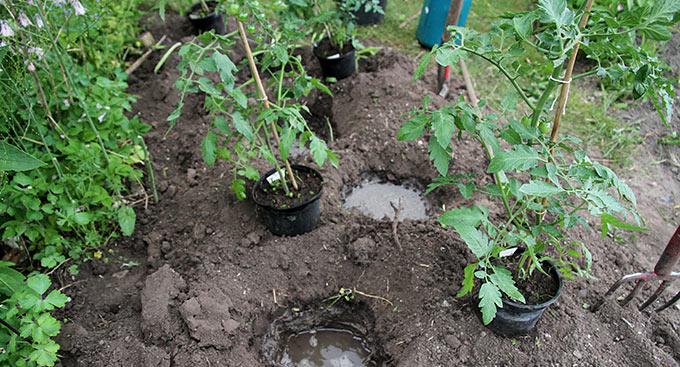 Grundig vanding inden plantning.