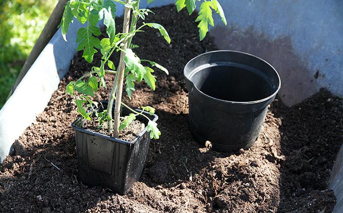 Valg af potte til tomatplante