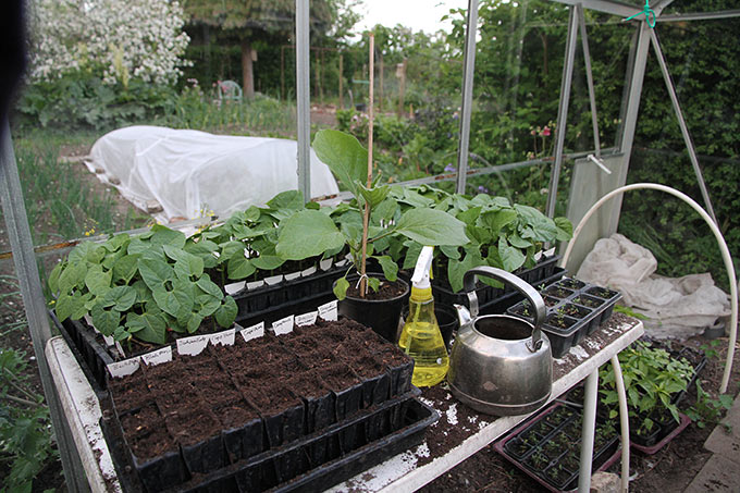 Nysået rootrainer med kål sammen med store fine bønneplanter.