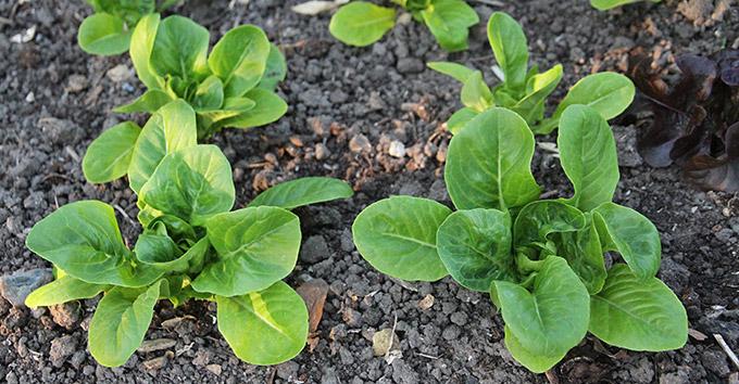 Det ser bedre ud i salatbedet med de tidligt udplantede Little Gem salatplanter.