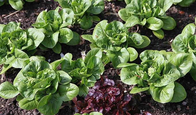 Salat Little Gem